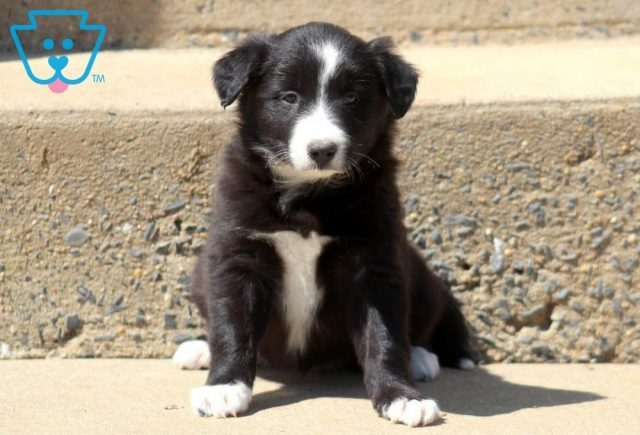Tinkerbell-Border-Collie-Herding-Dog-Breed-AKC
