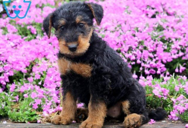 Tizzy-Airdale-Terrier-Breed-Dog-AKC