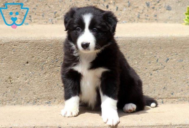 Toots-Border-Collie-Herding-Dog-Breed-AKC