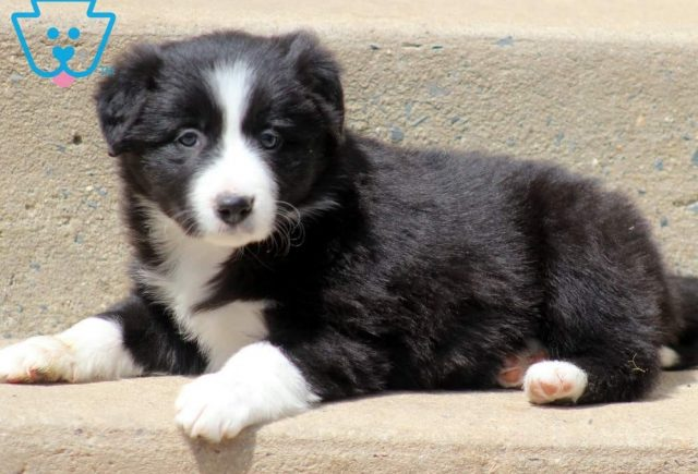 Toots2-Border-Collie-Herding-Dog-Breed-AKC