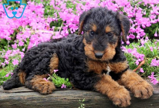 Tosh-Airdale-Terrier-Breed-Dog-AKC
