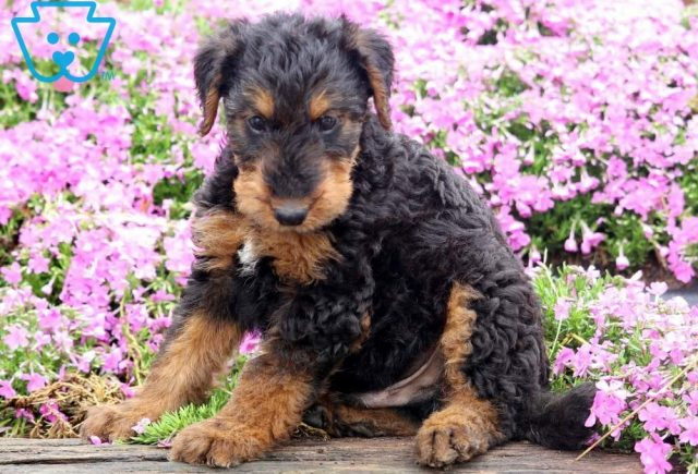 Tosh2-Airdale-Terrier-Breed-Dog-AKC