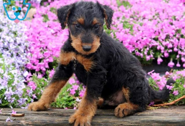Tucket-Airdale-Terrier-Breed-Dog-AKC