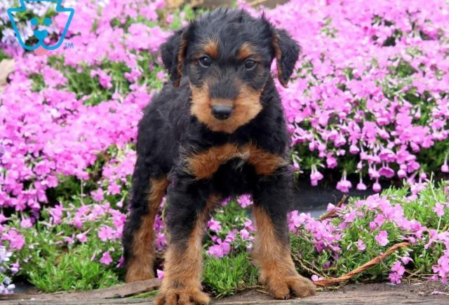 Tucket2-Airdale-Terrier-Breed-Dog-AKC