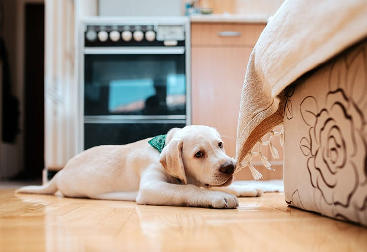 Yellow Lab puppy chewing on furniture