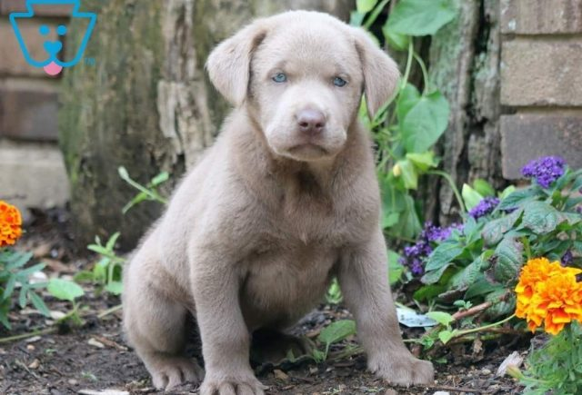 Ax-Labrador-Retriever-Sporting-Dog-Breed-AKC-Silver