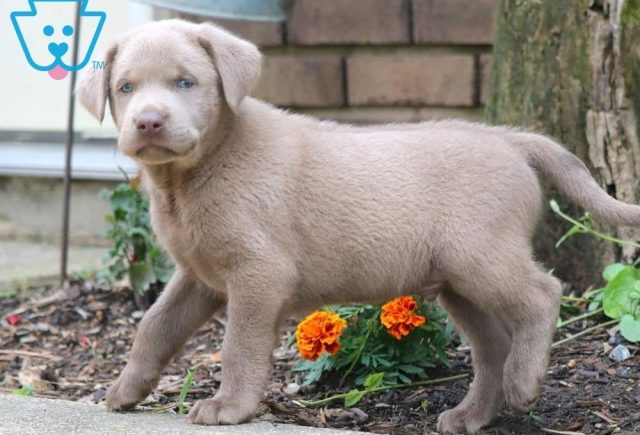 Ax2-Labrador-Retriever-Sporting-Dog-Breed-AKC-Silver