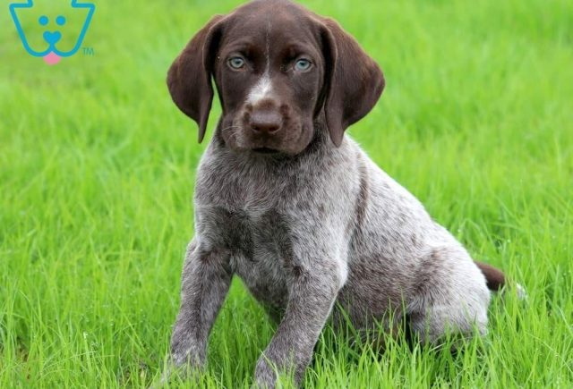 Bart-German-Shorthaired-Pointer-Dog-Breed-Sporting-AKC