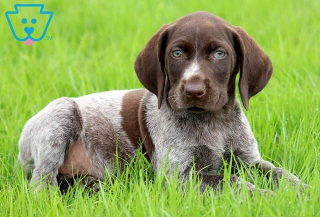 Bart2-German-Shorthaired-Pointer-Dog-Breed-Sporting-AKC