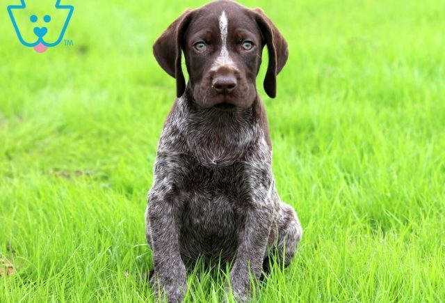 Benson-German-Shorthaired-Pointer-Dog-Breed-Sporting-AKC