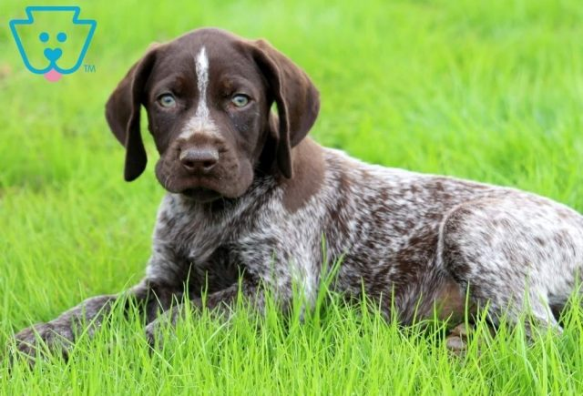 Benson2-German-Shorthaired-Pointer-Dog-Breed-Sporting-AKC