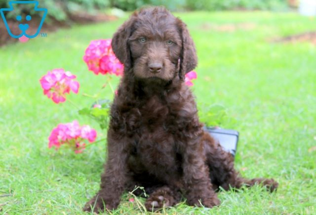Bentley Labradoodle 1