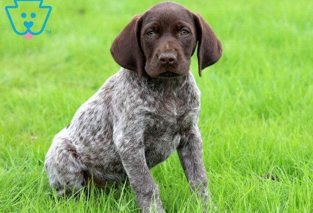Biscuit-German-Shorthaired-Pointer-Dog-Breed-Sporting-AKC
