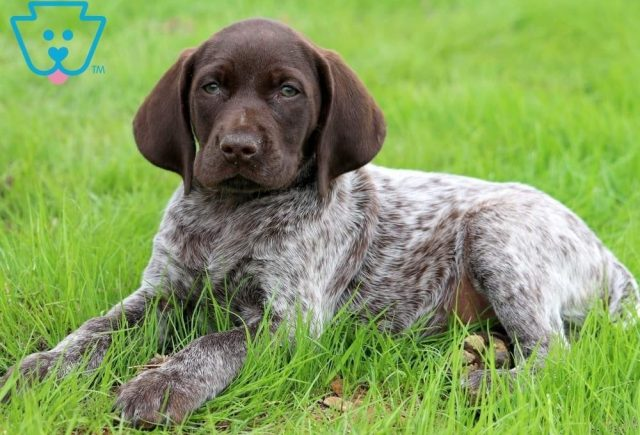 Biscuit2-German-Shorthaired-Pointer-Dog-Breed-Sporting-AKC