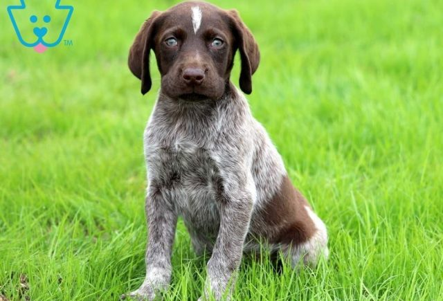 Blossom-German-Shorthaired-Pointer-Dog-Breed-Sporting-AKC