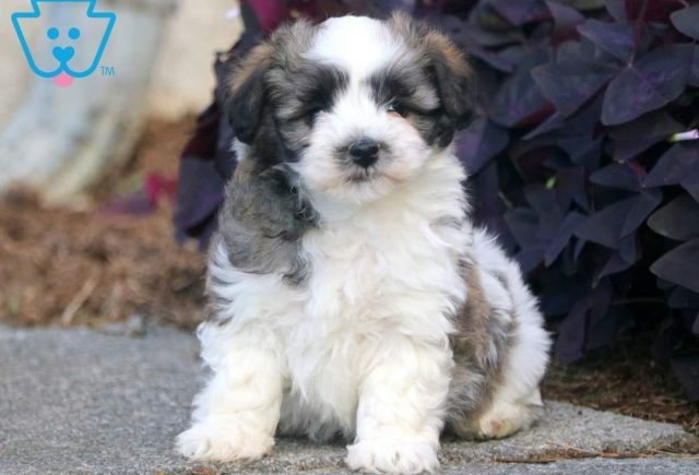 Boots-Havanese-Toy-Breed-Dog-AKC