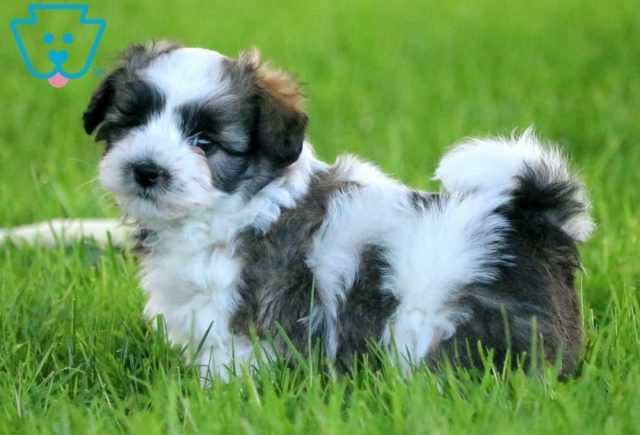 Boots2-Havanese-Toy-Breed-Dog-AKC