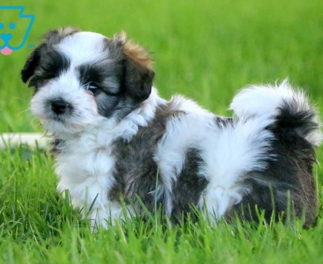 Boots | Havanese Puppy For Sale | Keystone Puppies