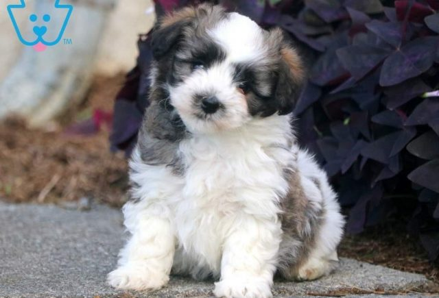 Boots3-Havanese-Toy-Breed-Dog-AKC