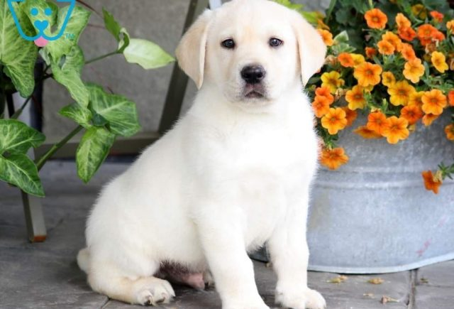 Boss-Labrador-Retriever-Sporting-Dog-Breed-AKC-Yellow