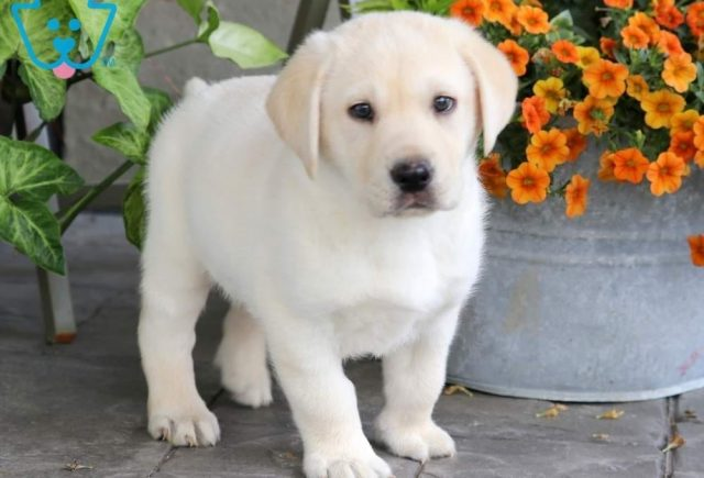 Boss2-Labrador-Retriever-Sporting-Dog-Breed-AKC-Yellow
