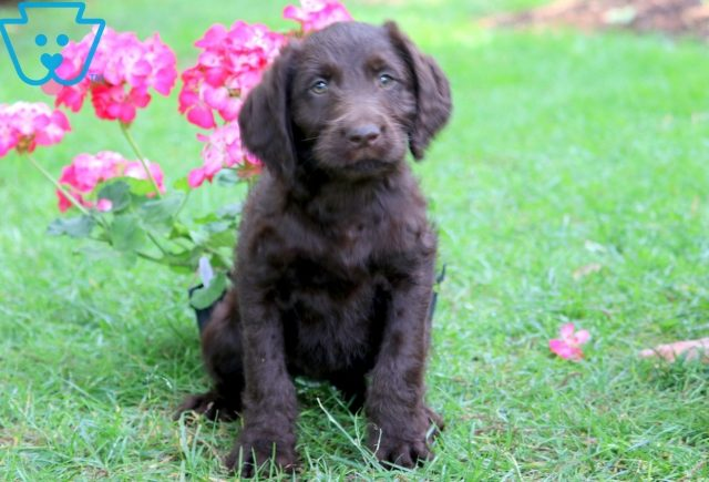 Brittany Labradoodle 1