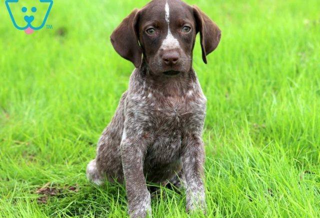 Brownie-German-Shorthaired-Pointer-Dog-Breed-Sporting-AKC