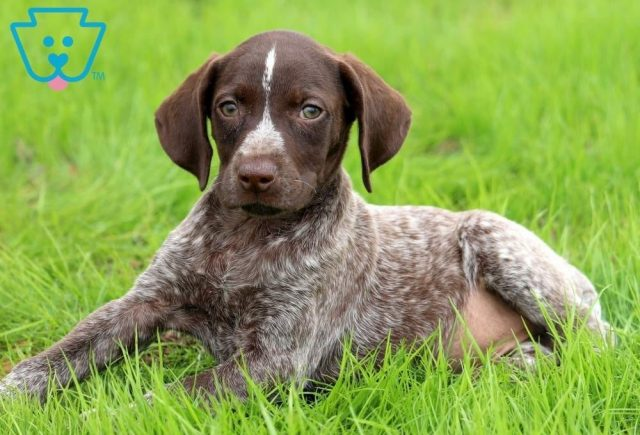Brownie2-German-Shorthaired-Pointer-Dog-Breed-Sporting-AKC