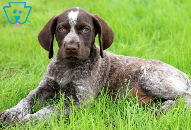 Bruno-German-Shorthaired-Pointer-Dog-Breed-Sporting-AKC