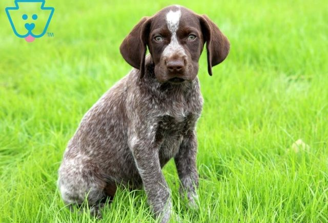 Bruno2-German-Shorthaired-Pointer-Dog-Breed-Sporting-AKC
