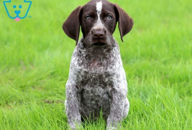Buzz-German-Shorthaired-Pointer-Dog-Breed-Sporting-AKC