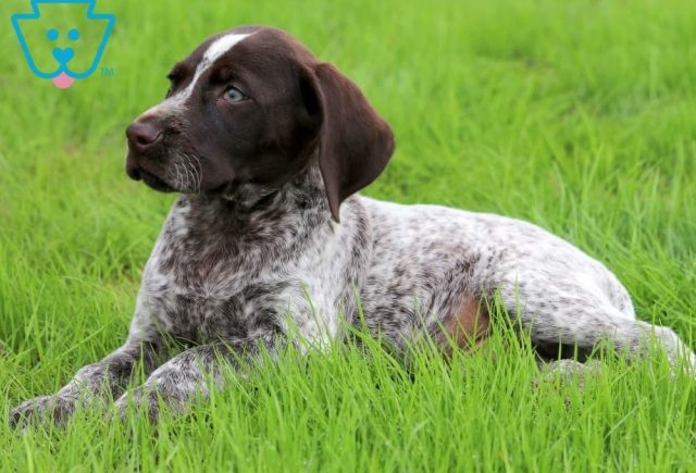Buzz2-German-Shorthaired-Pointer-Dog-Breed-Sporting-AKC