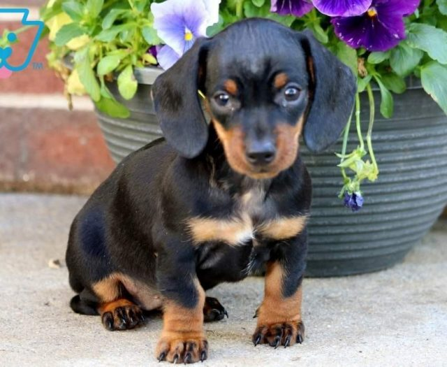 Miniature Dachshund Puppies For Sale Puppy Adoption Keystone Puppies