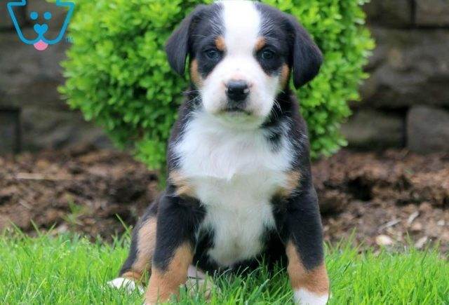 Daisy-May-Greater-Swiss-Mountain-Dog-Breed-Working-AKC