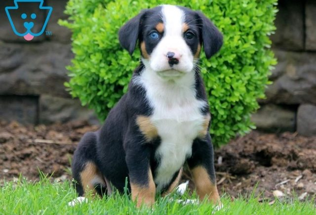 Dee-Greater-Swiss-Mountain-Dog-Breed-Working-AKC