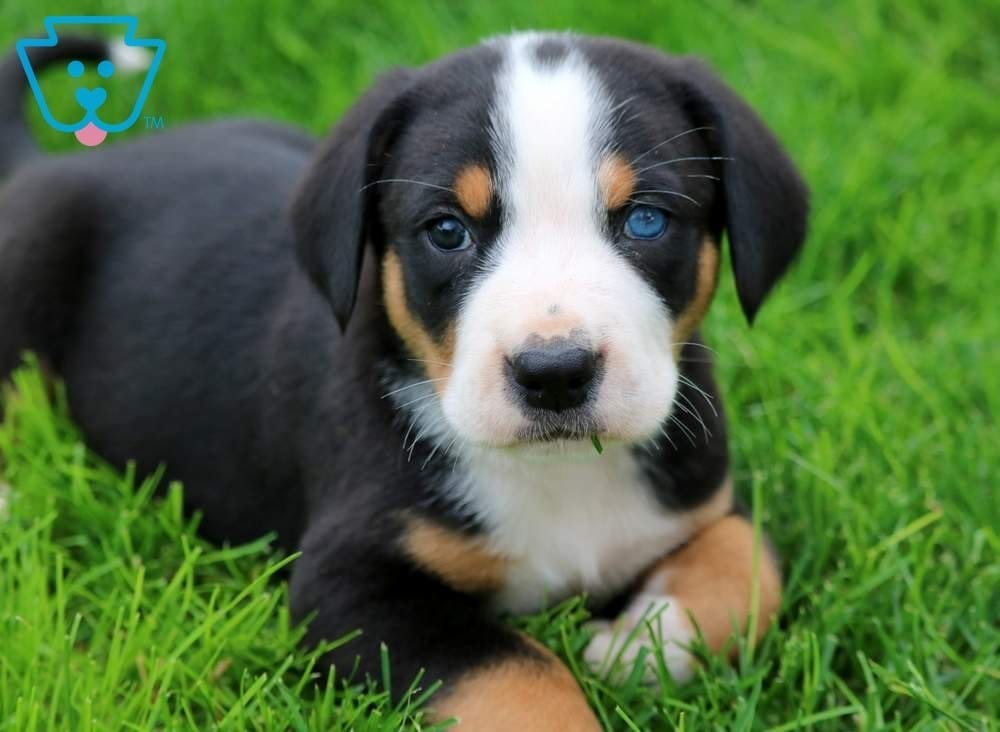Domino Greater Swiss Mountain Dog Puppy For Sale