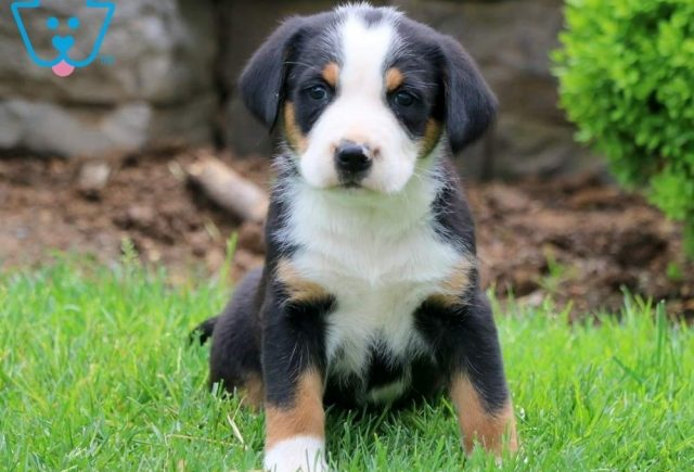 Dove-Greater-Swiss-Mountain-Dog-Breed-Working-AKC