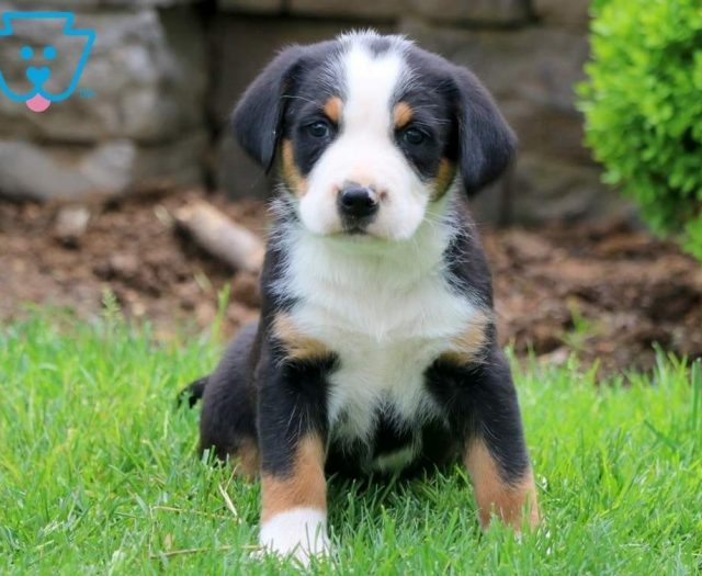 Greater Swiss Mountain Dog Puppies For Sale | Puppy ...