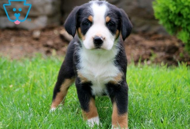 Dove2-Greater-Swiss-Mountain-Dog-Breed-Working-AKC