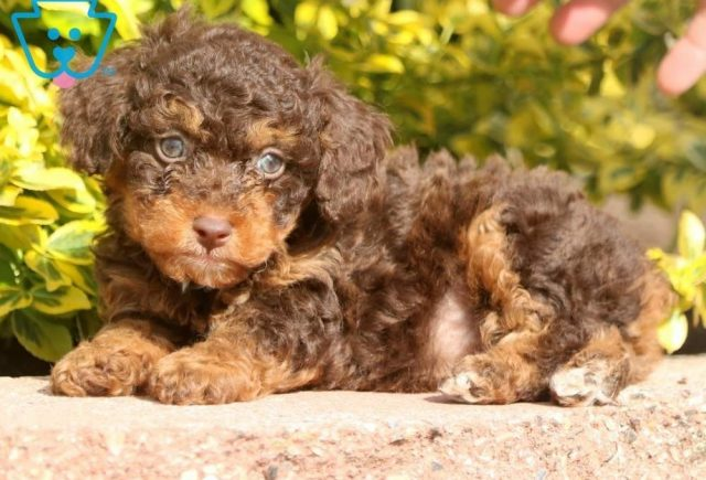 Ernie2-Poodle-Toy-Dog-Breed-AKC