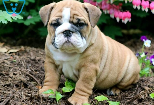 Erynn-English-Bulldog-Non-Sporting-Breed-Dog-AKC