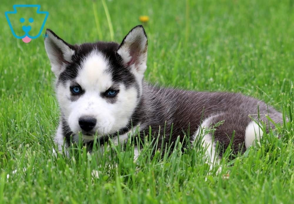 Puppy Husky For Sale In United Arab Emirates
