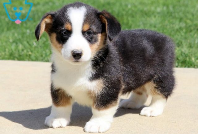Hogan-Welsh-Corgi-Pembroke-Herding-Dog-Breed-AKC