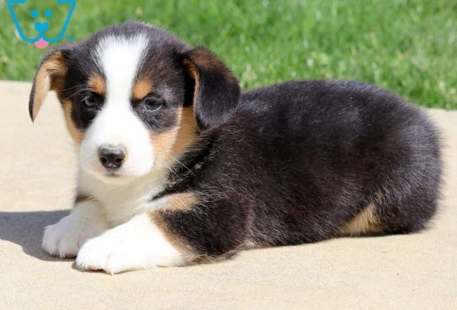 Hogan Welsh Corgi2