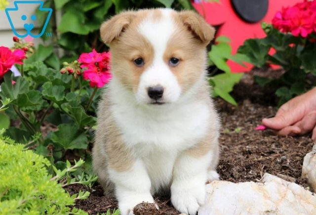 Lance-Welsh-Corgi-Pembroke-Herding-Dog-Breed-AKC