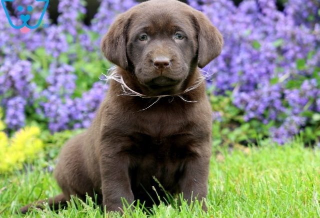 Leah Chocolate Lab 1