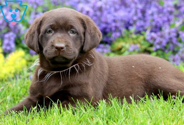 Leah Chocolate Lab 2