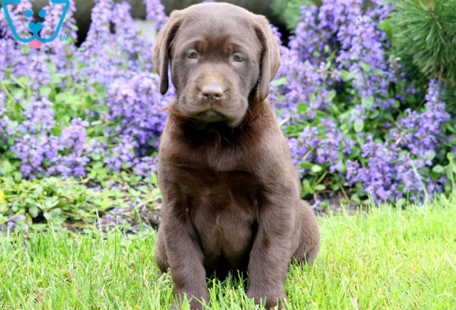 Lola Chocolate Lab 1