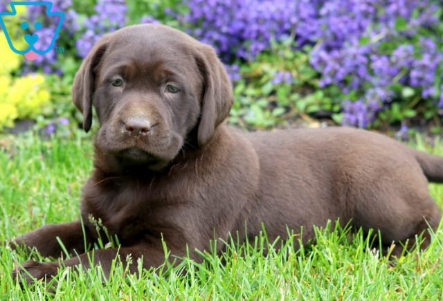 Lola Chocolate Lab 2