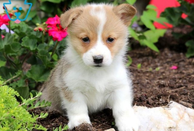 Luke-Welsh-Corgi-Pembroke-Herding-Dog-Breed-AKC